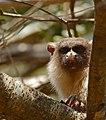 Black-tailed Marmoset (Callithrix melanura) (30979959544).jpg
