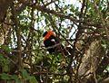 Black Bishop. Euplectes Gierowii - Flickr - gailhampshire.jpg