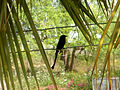 Black Drongo at Madhurawada 01.JPG