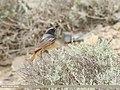 Black Redstart (Phoenicurus ochruros) (50024050451).jpg