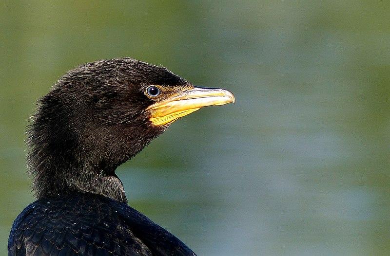 File:Black Shag NZ (16640474211).jpg