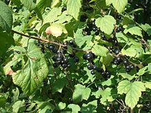 Blackcurrants2.jpg