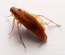 Blatella germanica p1160206.jpg