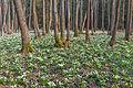 Bledule jarní v PR Králova zahrada 32.jpg