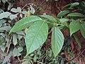 Blepharistemma serratum at Periya (2).jpg