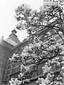 Bloeiende magnolia bij het Stedelijk Museum, Bestanddeelnr 189-1285.jpg