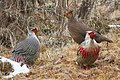 Blood Pheasant Phrumsingla National Park Bhutan.jpg