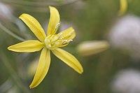 Bloomeria crocea.jpg