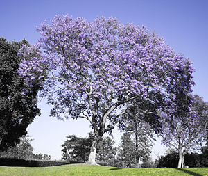 Jacaranda (album) - Rabin named the album, and his home recording studio, after the Jacaranda tree found in his native South Africa.
