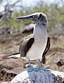 Blue-footed booby (47945217236).jpg