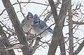 Blue Jay in a Snow Storm -- Drummond Island in Winter - 49694504738.jpg