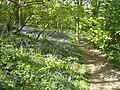 Bluebells - panoramio - PJMarriott.jpg