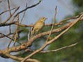 Blyth's pipit-kattampally@kannur birds - 2.jpg