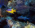 Bodianus rufus (Spanish hogfish) (San Salvador Island, Bahamas) 1 (15563634653).jpg