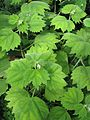 Boehmeria platanifolia - Flickr - peganum.jpg