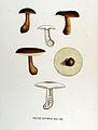 Boletus castaneus — Flora Batava — Volume v17.jpg