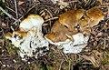 Bondarzewia occidentalis 436724.jpg