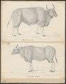 Bos gaurus - 1700-1880 - Print - Iconographia Zoologica - Special Collections University of Amsterdam - UBA01 IZ21200185.tif