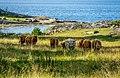 Boskap på en strandäng på den svenska ön Tjärö i Blekinge.jpg