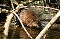 Bothell, WA - muskrat on North Creek 01 (cropped).jpg