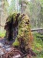 Bottom of fallen tree 2.jpg