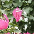 Bougainvillea spectabilis f. variegata-IMG 4382.jpg