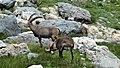 Bouquetins dans le Vallonnet près du Lac de la Patinoire (2512 m) (20).jpg