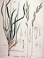 Brachypodium pinnatum — Flora Batava — Volume v19.jpg