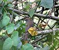 Bradypterus barratti priesti, Vumba, Birding Weto, a.jpg