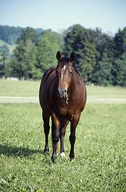 A stock-type Quarter Horse