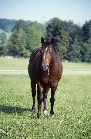 American Quarter Horse - A halter-type Quarter Horse