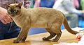 British burmese - Alfa Felis in Cat Show Porvoo.JPG