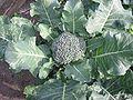 Broccoli plant.jpg