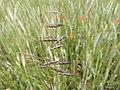 Bromus arvensis inflorescence (03).jpg