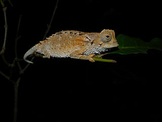<i>Brookesia decaryi</i> Species of lizard