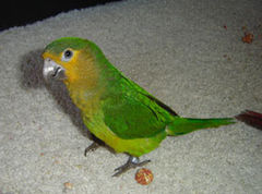 Brown-throated Parakeet (Aratinga pertinax) -pet.jpg