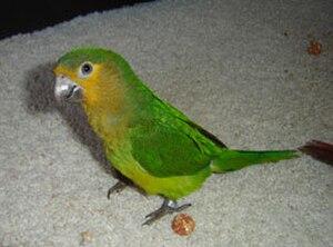 San Esteban National Park - Image: Brown throated Parakeet (Aratinga pertinax) pet