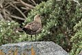 Brown ( Southern ) Skua - Stewart Island - New Zealand (27463313369).jpg