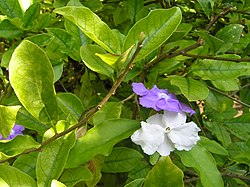 definition of brunfelsia
