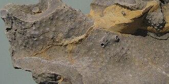 Hallopora - Detail of fossil Hallopora on display at Smithsonian, Washington, DC