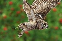 Bubo africanus -Safaripark Beekse Bergen, Hilvarenbeek, Netheerlands -flying-8a