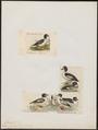 Bucephala islandica - 1700-1880 - Print - Iconographia Zoologica - Special Collections University of Amsterdam - UBA01 IZ17700057.tif
