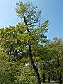 Budai Arborétum. Felső kert. Enyves éger (Alnus glutinosa). - Budapest.JPG