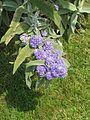 Buddleia salviifolia (7267687822).jpg