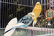 Pet budgerigars.