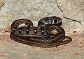 Buff-striped Keelback Amphiesma stolatum by Dr Raju Kasambe DSCN0502 (6).jpg