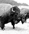 Buffalo at Wind Cave National Park. (9d8ff9d5e6774203af99536eeb871a35).jpg