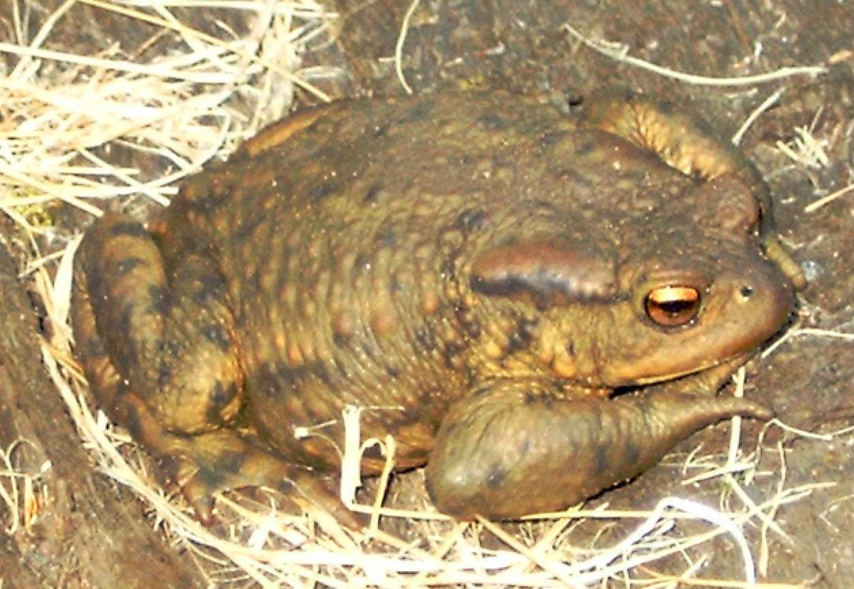 True Toad Wikipedia