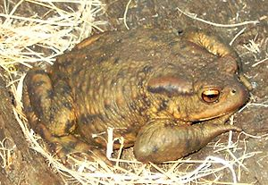 True toad - Common toad or European toad, Bufo bufo