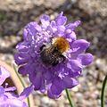 Bumblebee (Bombus pascuorum?), Sandy, Bedfordshire (7726821142).jpg